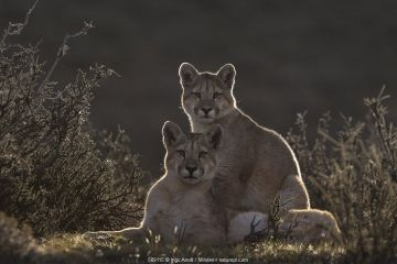 Mountain Lion (Puma concolor) sub-adult sisters, Torres del Paine National Park, Patagonia, Chile.