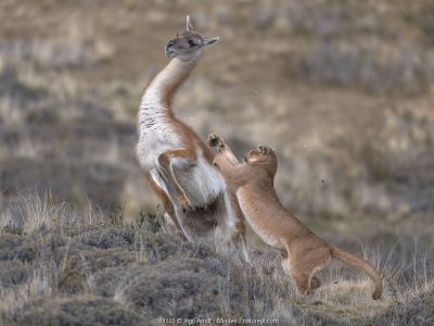 Mountain Lion (Puma concolor) hunting Guanaco (Lama guanicoe) male, Torres del Paine National Park, Patagonia, Chile.