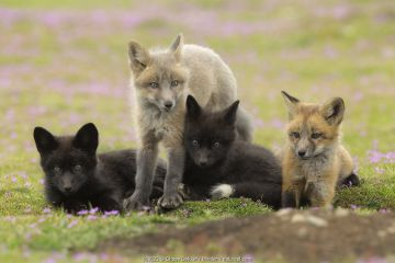 Red Fox (Vulpes vulpes) kits at den, Washington, USA.