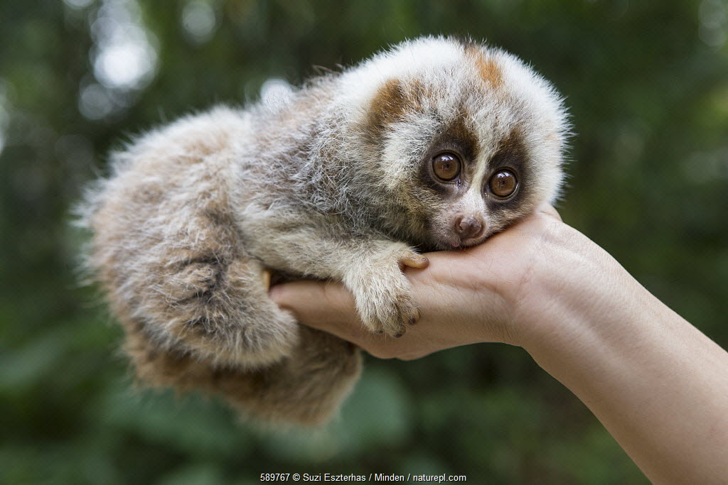 Northern Slow Loris (Nycticebus bengalensis) young from female that was rescued from illegal wildlife trade while pregnant, Endangered Primate Rescue Center, Cuc Phuong National Park, Vietnam.
