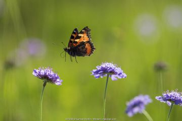 Small Tortoiseshell (Aglais urticae) butterfly flying, Bavaria, Germany.