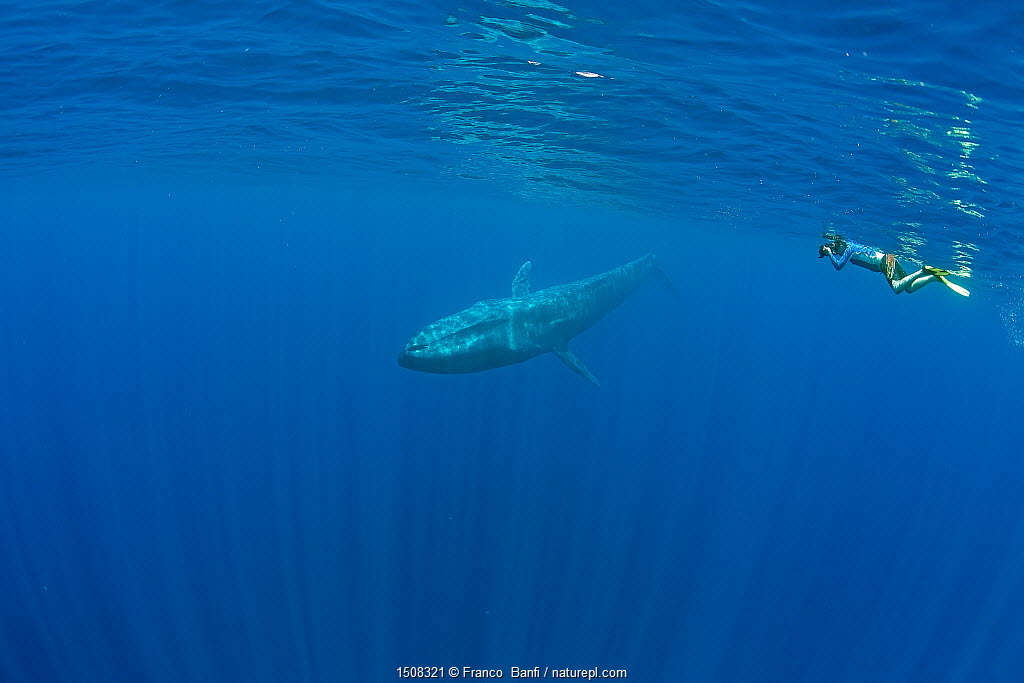 Snorkeler and pygmy blue whale (Balaenoptera musculus brevicauda) Mirissa, Sri Lanka, Indian Ocean. Endangered species. Subspecies of Blue Whale.