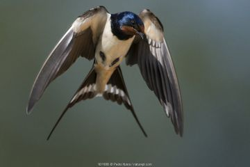 Barn swallow (Hirundo rustica) in flight, Portugal.