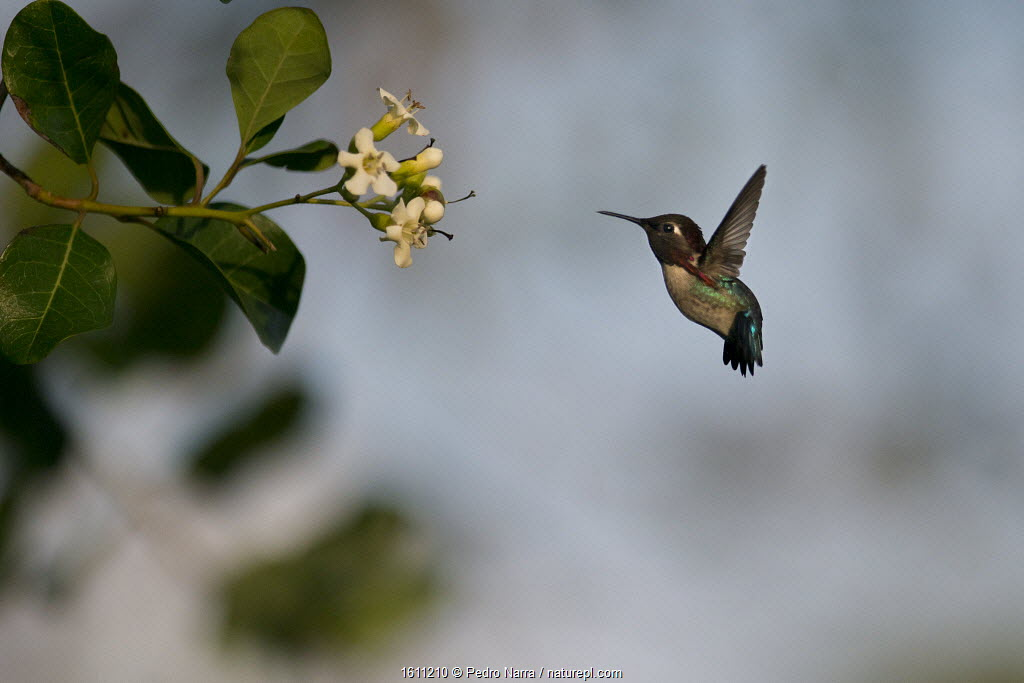Bee hummingbird (Mellisuga helenae) hovering in front of flower, Guanahacabibes Peninsula National Park, Cuba.