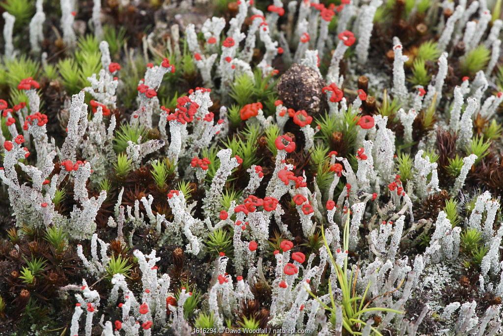 Cladonia lichens, Wild Ennerdale, Cumbria, England.