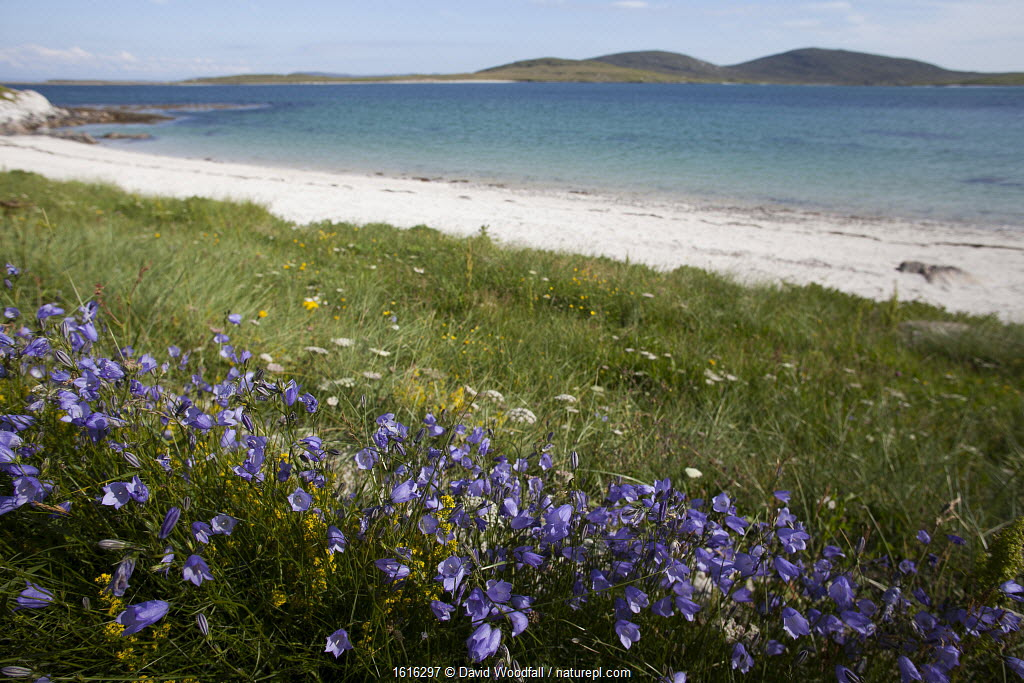Harebells growing in machair, Outer Hebrides, Scotland.