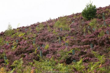 Rewilded moorland / farmland with planted trees, Highlands, Scotland.