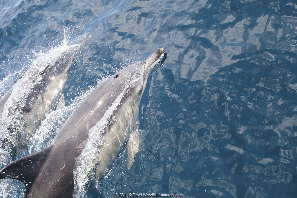 Atlantic white sided dolphins at the surface. County Cork, Ireland.