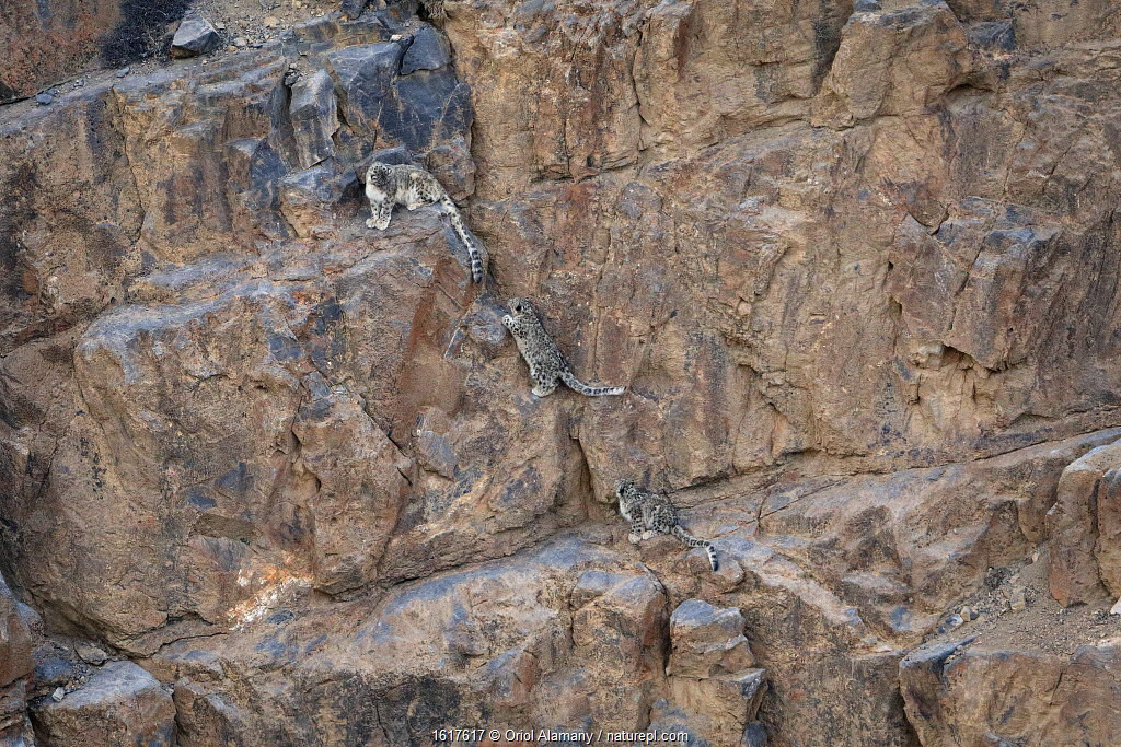 Snow Leopard (Panthera uncia) female with two cubs climbing a canyon cliff at dusk at 4400 metres, Spiti valley, Cold Desert Biosphere Reserve, Himalaya mountains, Himachal Pradesh, India, February.