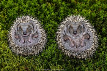 Hedgehog (Erinaceus europaeus) hoglets uncurling from ball, age 10 days, France.