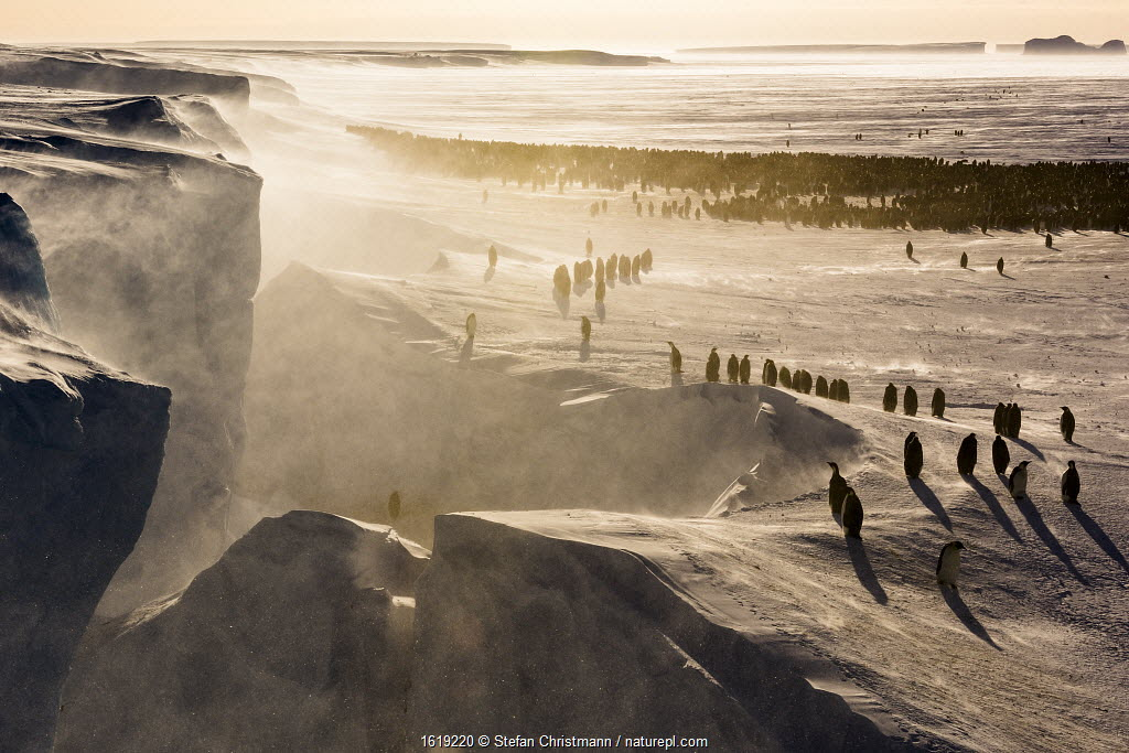 Emperor penguin (Aptenodytes forsteri), breeding colony with individuals in foreground walking to / from open water. Atka Bay, Antarctica. September 2017.