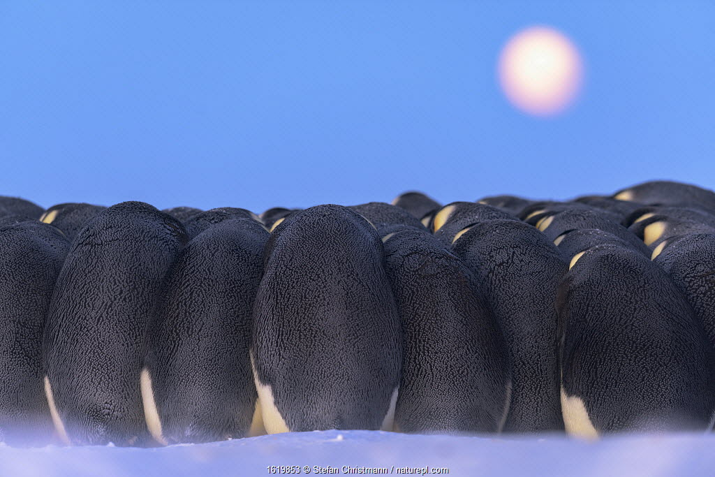 Emperor penguin (Aptenodytes forsteri) males huddling whilst incubating eggs,under full moon during polar night, Atka Bay, Antarctica. July.