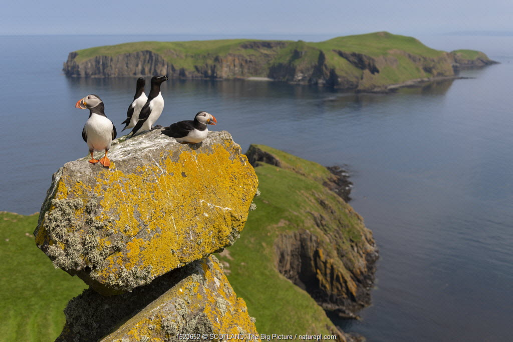 Puffins (Fratercula arctica) and Razorbills (Alca torda) with Eilean Mhuire behind, Shiant Isles, Outer Hebrides, Scotland, UK. June, 2018.