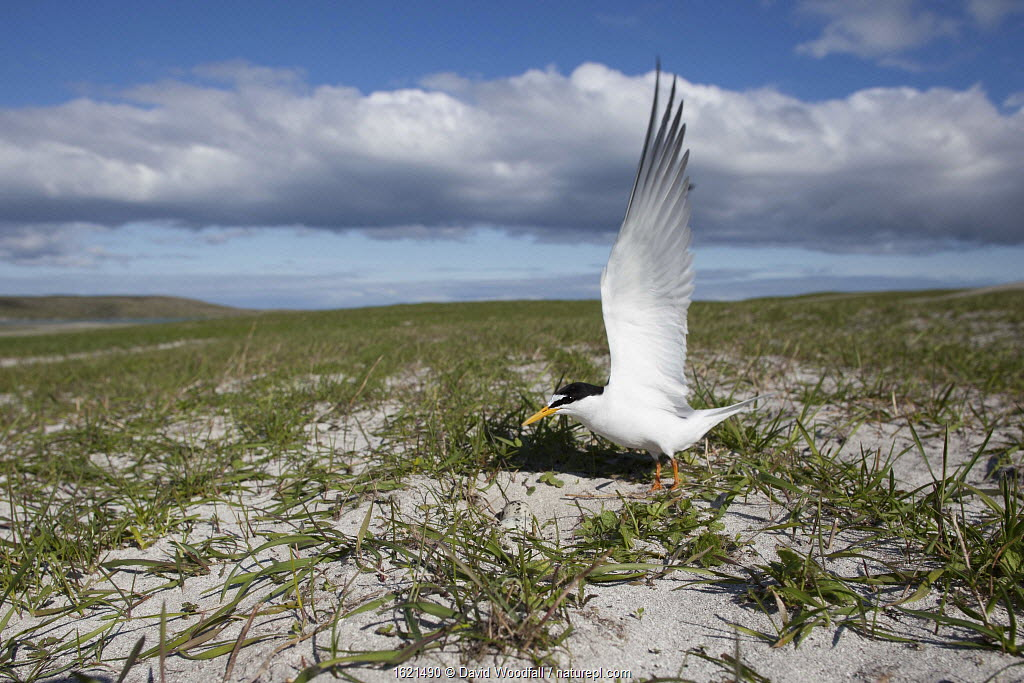 Little Tern at its nest amongst Black oats on cultivated machair, Berneray, North Uist, UK.