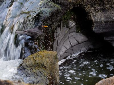 Male Blackbird (Turdus merula) catching European eel (Anguilla anguilla) elvers as they migrate up a waterfall, Ceredigion, Wales, UK, July.