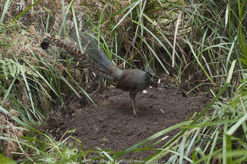 Superb Lyrebird (Menura novaehollandiae) male singing from display mound, Sherbrooke Forest Park, Victoria, Australia