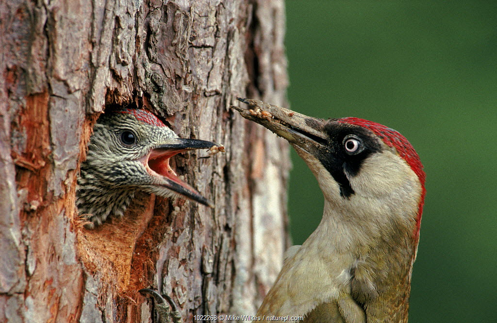 Green woodpecker feeding young at nest in tree, England, UK