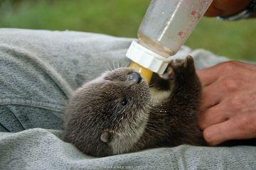 European river otter (Lutra lutra) juvenile being bottle fed, Poland, captive.