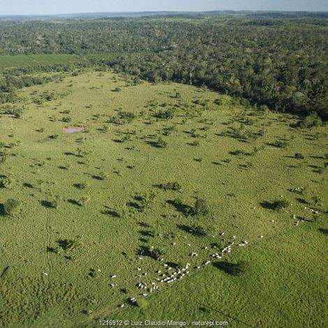 Aerial view of cattle grazing on pasture land taken from Amazon upland (Terra-firme) rainforest, Rondônia State, Brazil.