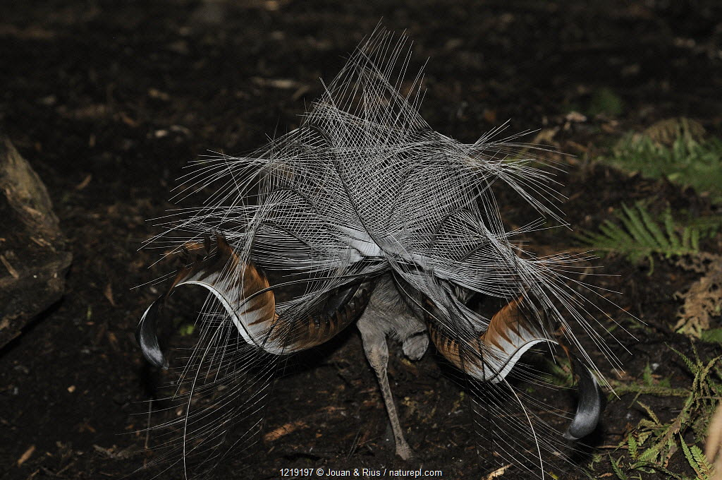Superb lyrebird (Menura novaehollandiae) displaying, New South Wales, Australia