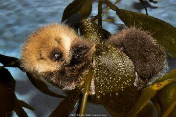 ea otter baby (Enhydra lutris) amongst kelp. Monterey Bay, California, USA.
