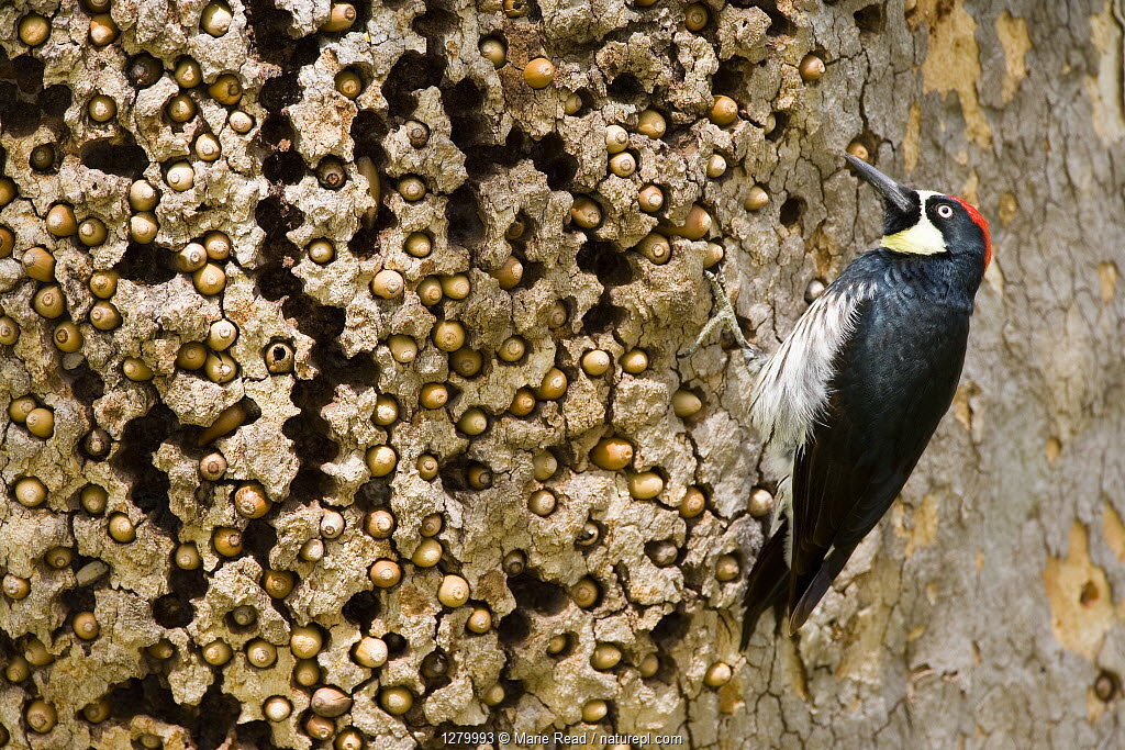 Acorn Woodpecker male at granary tree showing many acorns stored for winter survival, Orange County, California, USA