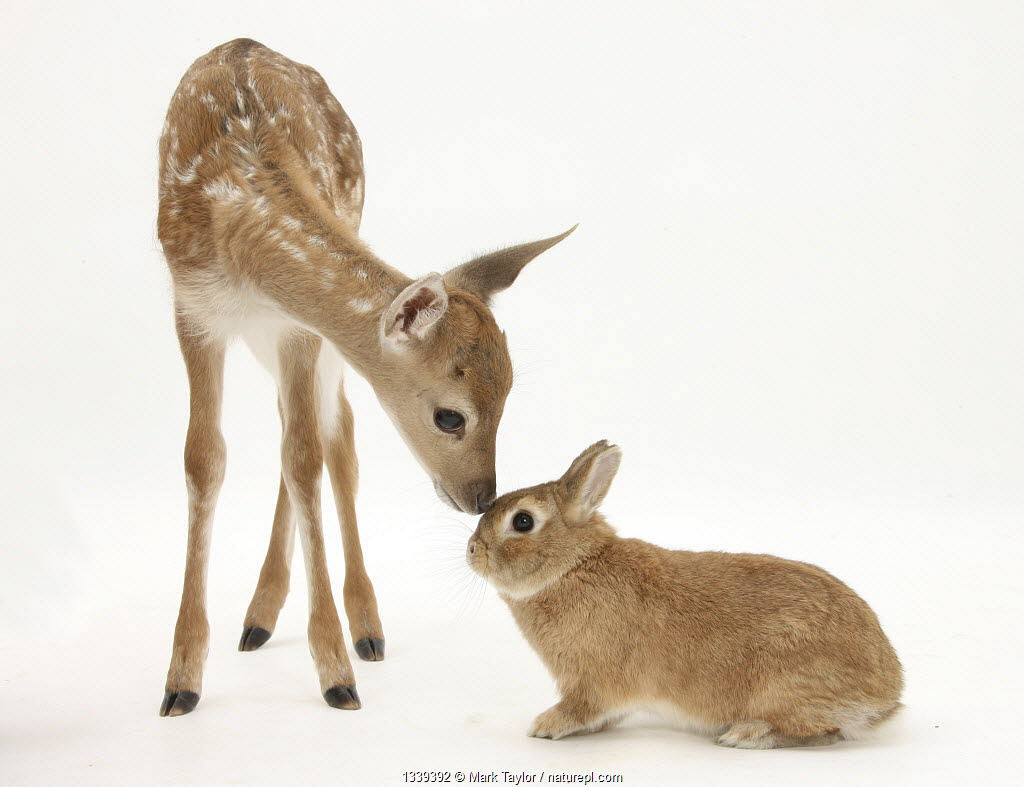 Fallow Deer (Dama dama) fawn and Sandy Netherland-cross rabbit.