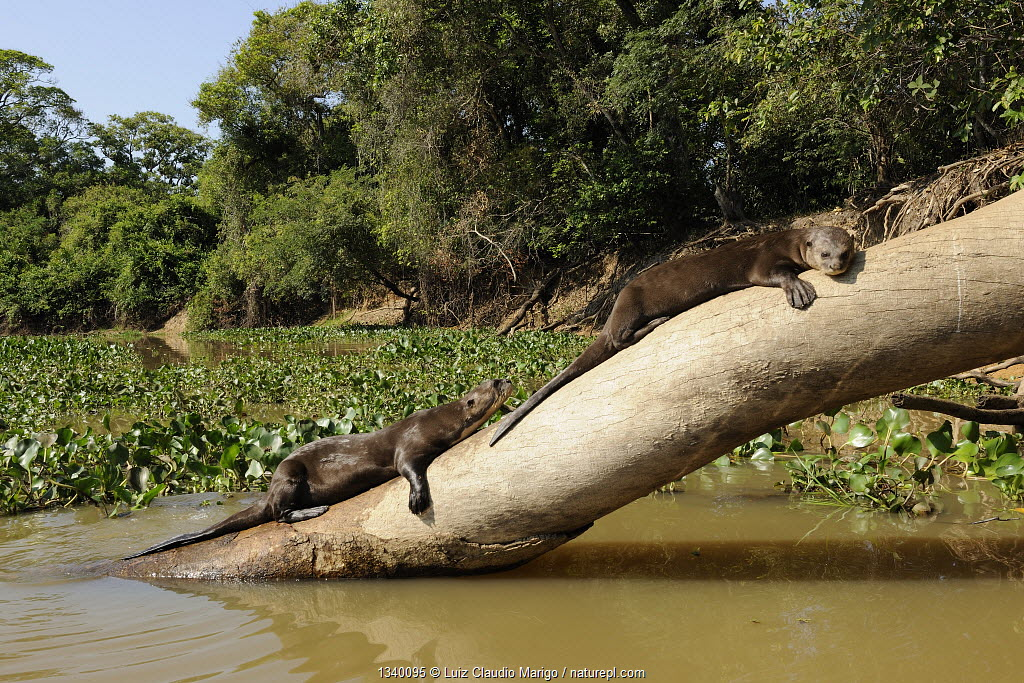 Two Giant Otter / Giant Brazilian Otter (Pteronura brasiliensis) sunbathing on a tree trunk. The Pantanal wetlands of Mato Grosso State, Brazil, October.