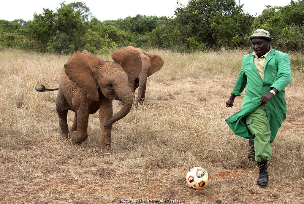 Orphan baby Elephants (Loxodonta africana) playing football with their keeper. David Sheldrick Wildlife Trust Nairobi Elephant Nursery, Kenya, July 2010. Model released.