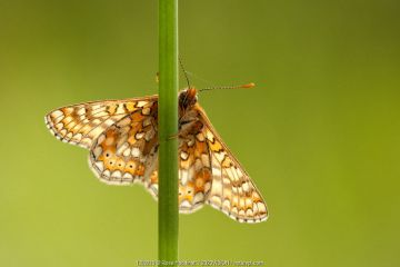 Marsh fritillary butterfly {Euphydrayas aurinia} backlit on plant stem, Dunsdon, near Holsworthy, Devon, UK. June.
