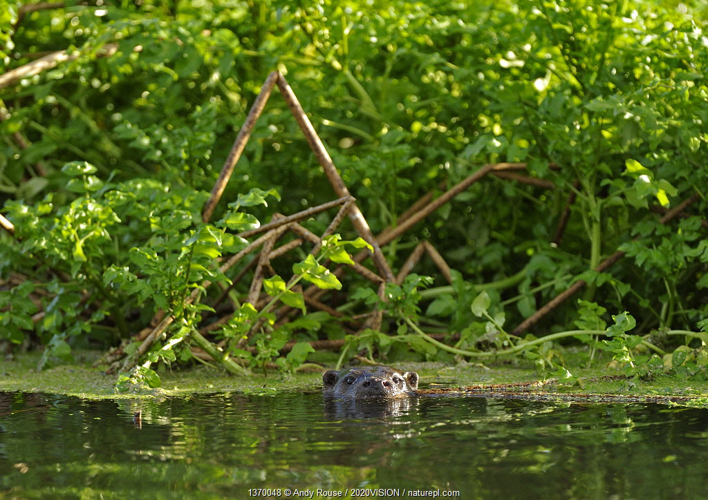 European river otter (Lutra lutra) on river, Dorset, UK, November