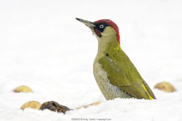 Green woodpecker (Picus viridis) male looking alert among fallen apples in snow. Hertfordshire, England, UK, February.