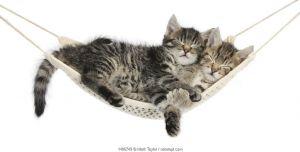 Two cute tabby kittens, Stanley and Fosset, 7 weeks, sleeping in a hammock.