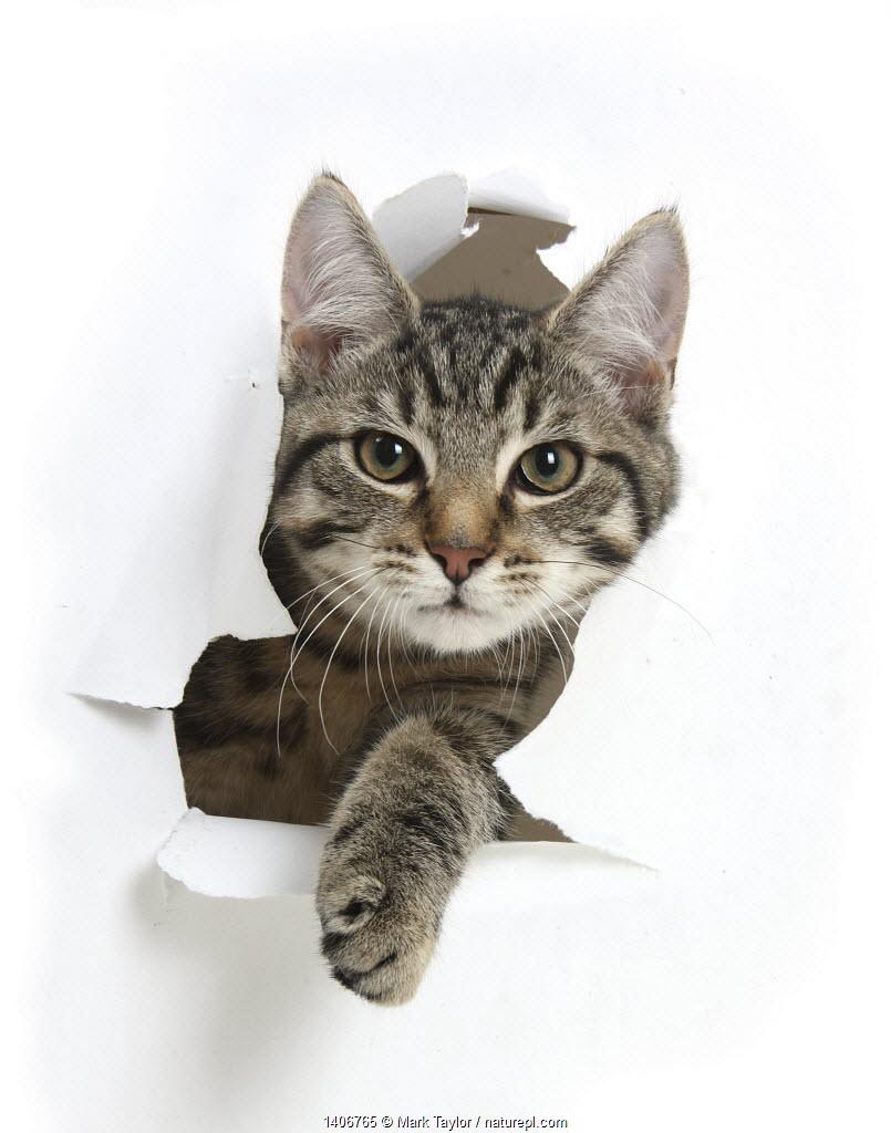 Tabby kitten, Fosset, 4 months , breaking through paper.