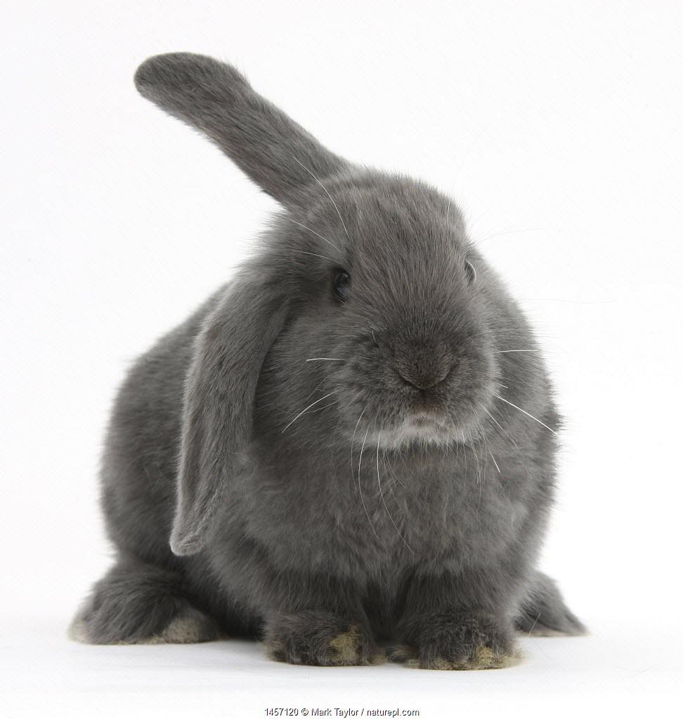 Blue-grey floppy-eared rabbit, against white background