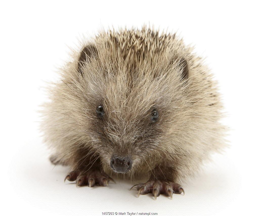 Baby Hedgehog (Erinaceus europaeus), against white background