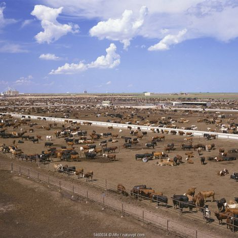Grazing cows in feedlot, grassless enclosures where they are fed high energy grains to fatten them up prior to slaughter, Texas, USA, July.