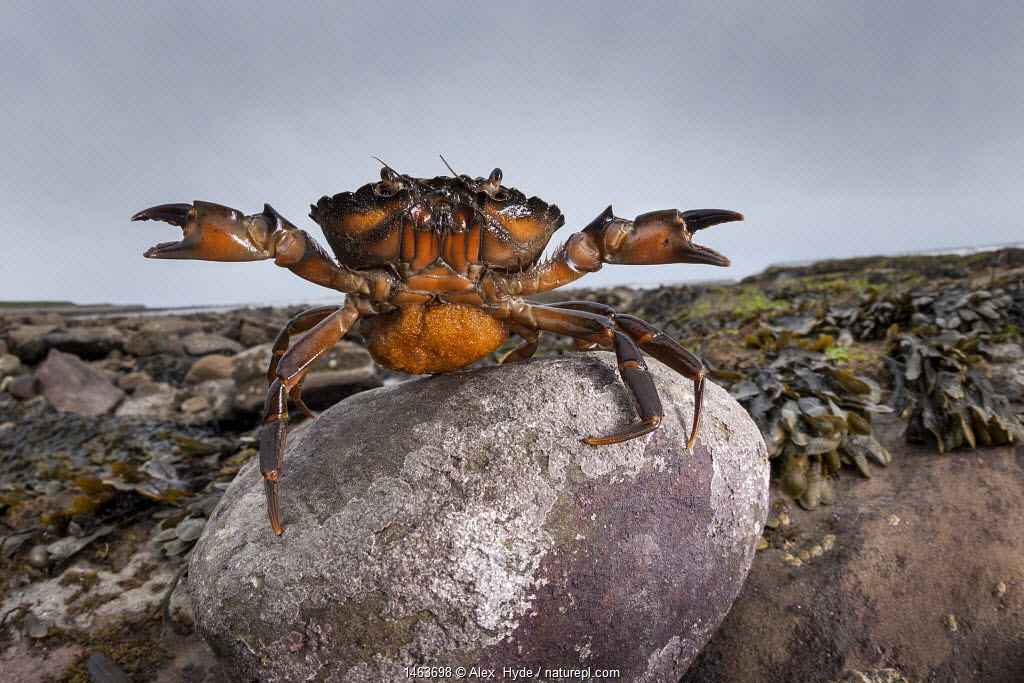 Shore Crab (Carcinus maenas) female carrying eggs with claws raised in defensive posture. Northumberland, UK. May.