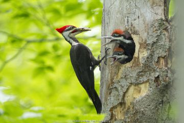 Male Pileated Woodpecker with beetle larva in beak to feed two chicks, New York, USA, May.