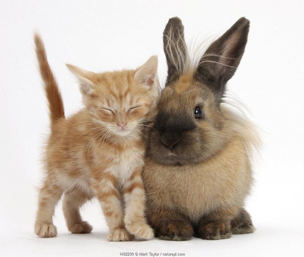 Sleepy ginger kitten and lionhead cross rabbit.