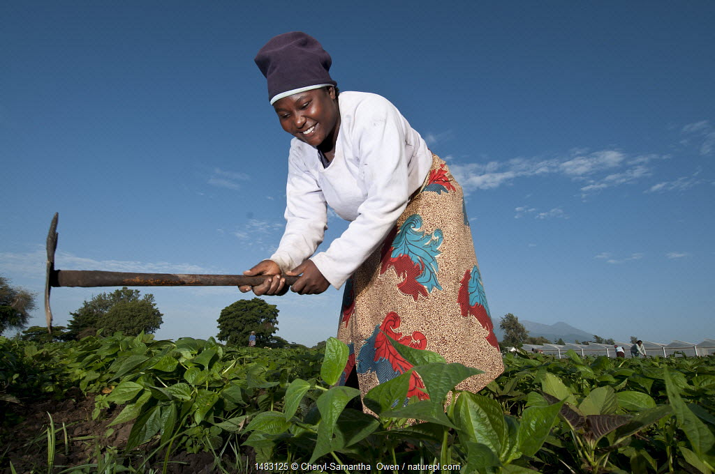 Woman weeding in a field of Green beans (Phaseolus vulgaris) on commercial farm. The woman wears traditional clothing, a 'kitenge', wrapped around her. Tanzania, East Africa. December 2010.
