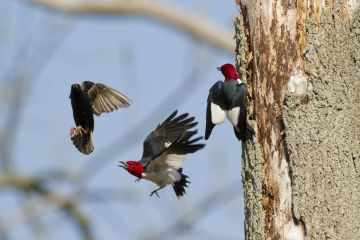 Red-headed woodpeckers fighting with European Starling that is trying to take over their nest hole, Montezuma National Wildlife Refuge, New York, USA May.