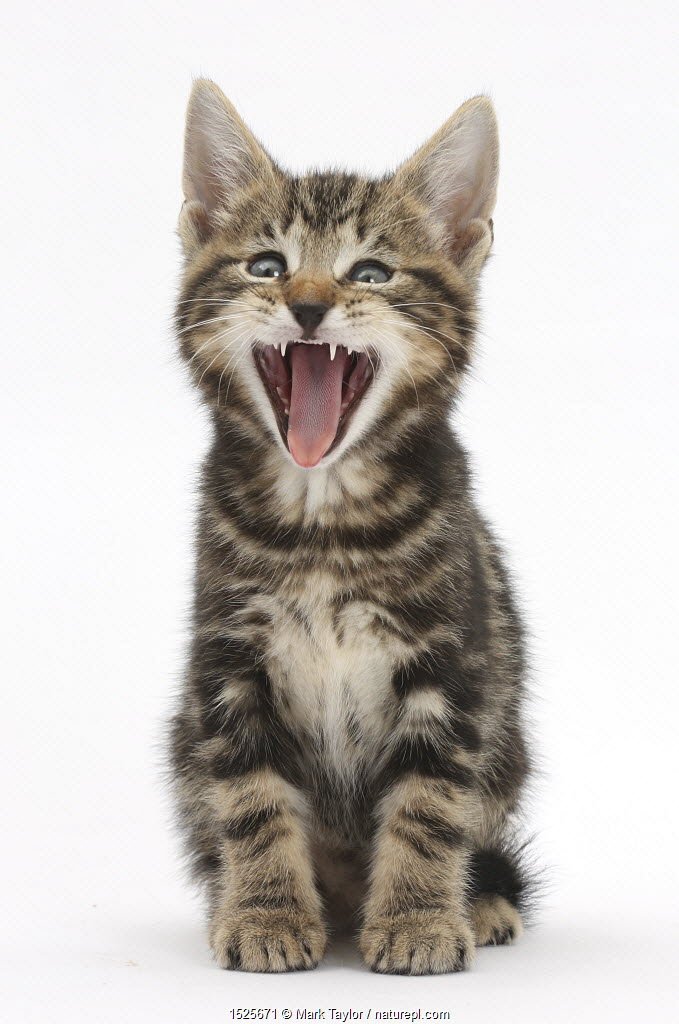 Tabby kitten, Picasso, 7 weeks, yawning.