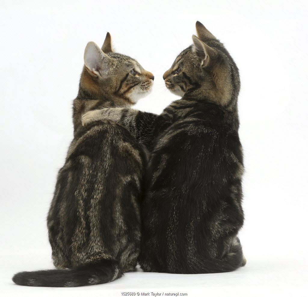 Tabby kittens, Picasso and Smudge, with paws on each other's shoulders.