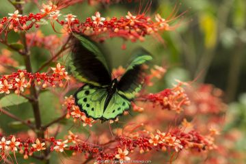 Cairns birdwing butterfly (Ornithoptera euphorion) on red tropical flowers, Queensland, Australia.