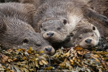 A family of otters rest on the intertidal seaweed. European river otter (Lutra lutra) Shetland, Scotland, UK, July.
