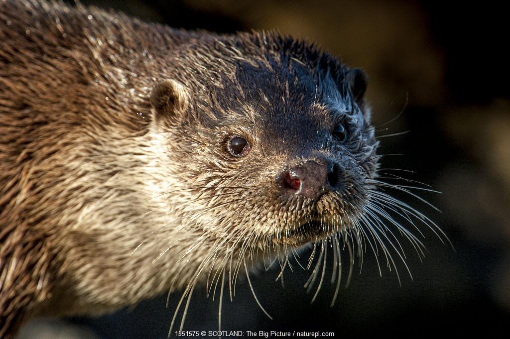 European river otter (Lutra lutra) close up portrait, Shetland, Scotland, UK, February.