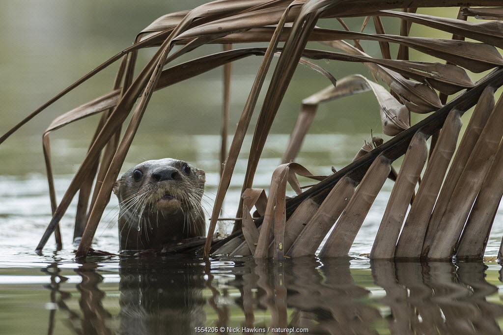 Neotropical river otter (Lontra longicaudis) in water, Nicoya Peninsula, Costa Rica, March 2015.
