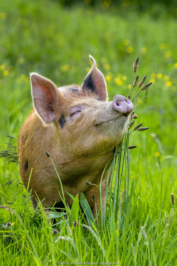 Domestic Tamworth x Berkshire pig in meadow in spring, Germany.