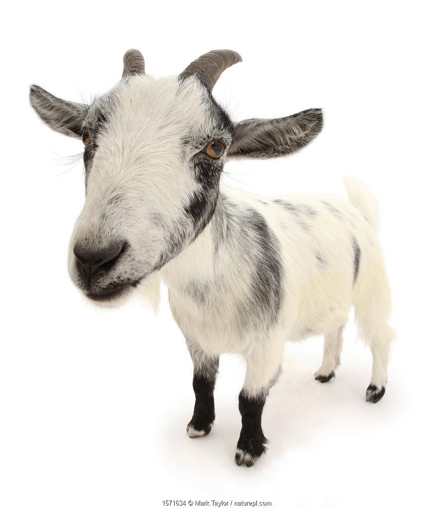Pygmy goat, close up portrait.